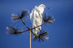 Egret on the High Wire