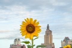 Sunflowers in Providence