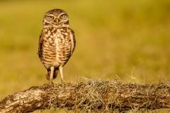 Burrowing Owl (Susie)