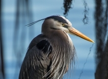 Great Blue Heron 1 (Greg)