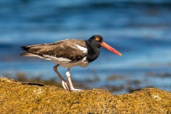 Oyster Catcher - 3rd Place, Class B (Greg)